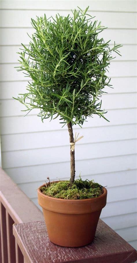 rosemary topiary live rosemary 17 quot single ball topiary