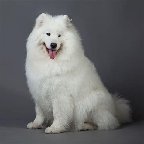 Do Samoyeds Shed More Than Huskies by Samoyed