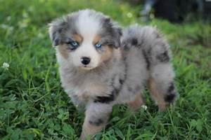 60 Best Pictures Of Australian Shepherd Dog