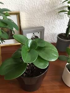 Euphorbia Trigona Vermehren : favorite five lieblingspflanzen christusdorn wolfsmilch dickblatt peperomia efeutute ~ Orissabook.com Haus und Dekorationen