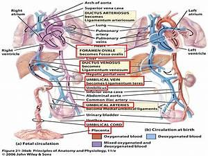 Cardiovascular System At University Of North Carolina