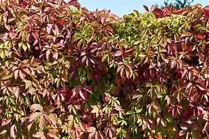 Immergrüne Kletterpflanze Für Zaun : kletterpflanzen als sichtschutz so w hlen sie die ~ Michelbontemps.com Haus und Dekorationen
