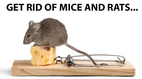 getting rid of rats how to get rid of mice and rats youtube
