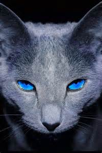 blue cat 1000 images about russian blue on gray cats