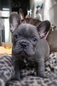 cute dog http://www.worldoffrenchies.com/french-bulldog ...