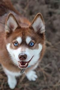 Alaskan Klee Kai Dog Breed » Everything About Alaskan Klee ...
