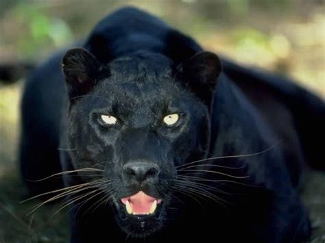 Black Panthers Wallpaper Hdblackwallpaper