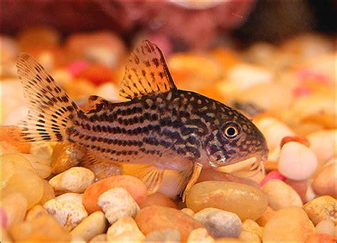 breeding corydoras cory catfish  special pet fish talk
