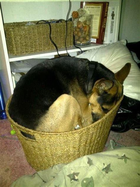 insanely awkward german shepherd sleeping