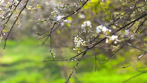 Dslr Hd Background by Sunlit White Cherry Blossom With New Green Leaves Waving