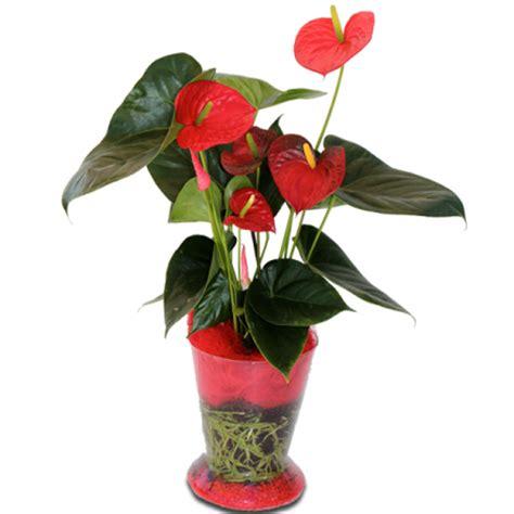 plante d interieur fleurie plante interieur fleurie la pilounette
