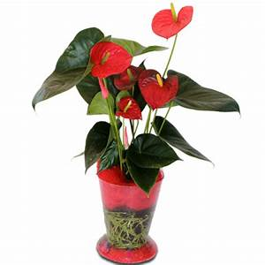 Plante Fleurie Intérieur : plante interieur fleurie rouge la pilounette ~ Premium-room.com Idées de Décoration