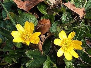 Lesser Celandine | NatureSpot  Lesser