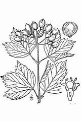 Viburnum Cranberry Coloring Drawing Opulus Bush Pages Drawings Plants Draw Realistic Bushes Shrubs American Highbush Usda Trees Line Plant Cranberries sketch template