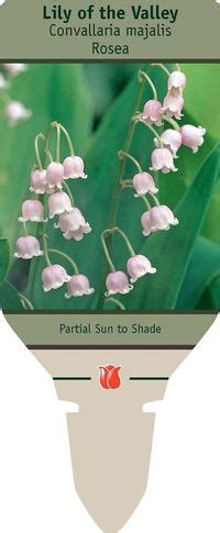 of the valley convallaria majalis rosea from