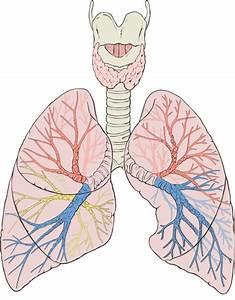 Investigadores Crean Pulmones Humanos En Laboratorio