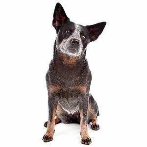 Blue Heeler   Blue Heeler Pet Insurance & Dog Breed