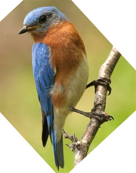blue bird food