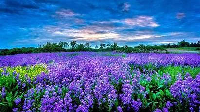 Field Flower Purple Fields Nature Flowers Lavender
