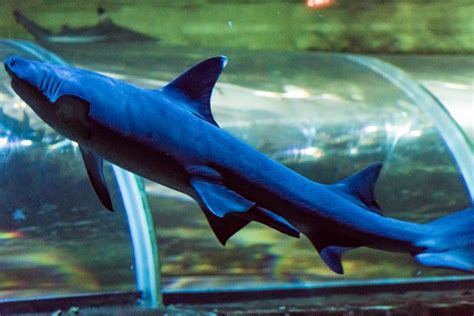 requin d eau douce aquarium 28 images requin d eau douce carpiste no kill 62 mon aquarium