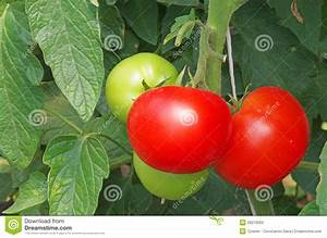 Green And Red Tomatoes Stock Photos - Image: 26219263