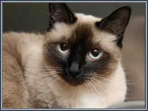cat and mix mixed breed siamese himalayan kittens himalayan siamese