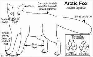 arctic fox printout enchantedlearningcom With arctic fox diagram