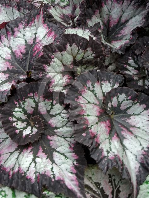begonia rex cultorum begonia rex cultorum rex begonia painted leaf begonia queen alexandra begonia information