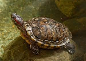 eared turtle endangered red eared slider population