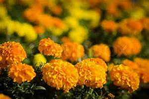 Marigold flower in yellow and orange color Stock Photo