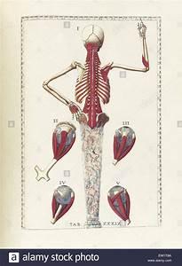 Diagram Anatomy Of Hip Illustration Stock Photos  U0026 Diagram
