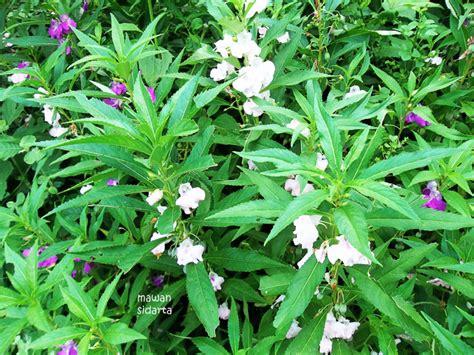 tanaman kuburan  segudang manfaat oleh mawan sidarta