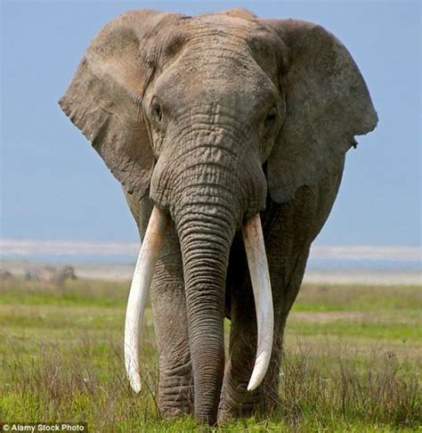 how can an elephant get why do criminals have to kill elephants to get the ivory can t they just cut the teeth quora