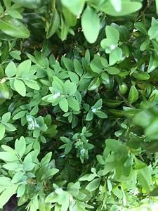 Buchsbaum Weißer Befall : wei er flaum auf buchsbaum trieben was ist das und was kann man dagegen machen fragen ~ Frokenaadalensverden.com Haus und Dekorationen