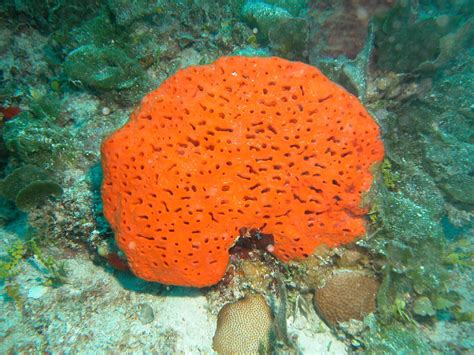 Sponge Overgrowth In The Caribbean