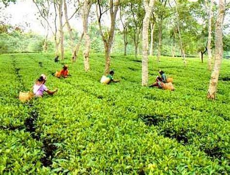 modern floor covering tea gardens in bangladesh beautiful sylhet tea gardent