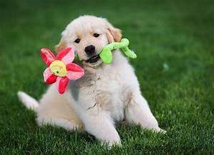 finding a golden retriever puppy