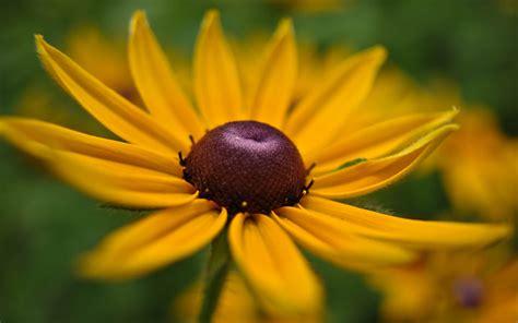 yellow flower a1 - HD Desktop Wallpapers | 4k HD