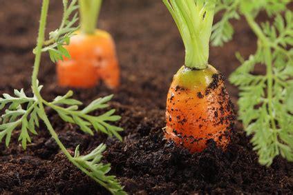 cuisine d entreprise carotte plantation culture arrachage pratique fr