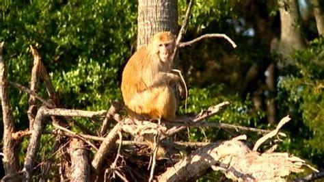 carolina island home  thousands  monkeys nbc news