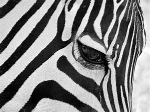 Black And White Zebra Close Up Photograph by Pierre ...