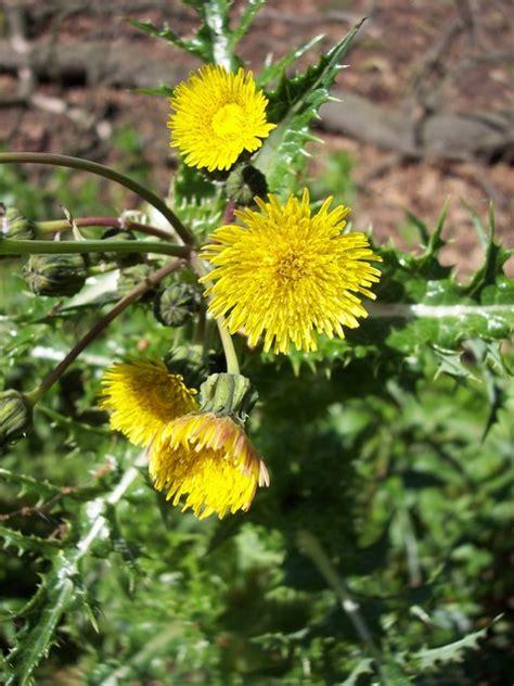 Prickly Sowthistle (sonchus Asper) Nen Gallery