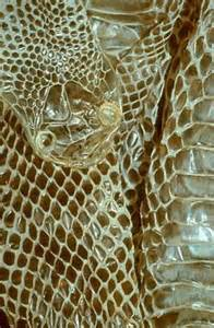 shed snake skin molted skin instead of an ongoing process reptiles shed skin periodically