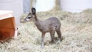 Cute Baby Animal Video: Klipspringer Born at Lincoln Park ...