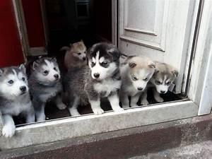 Malamute Husky Puppies | www.pixshark.com - Images ...