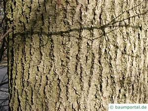 Linde Baum Steckbrief : winter linde tilia cordata ~ Orissabook.com Haus und Dekorationen