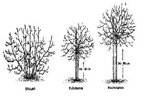tip johannis und stachelbeere pflanzen