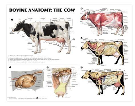 anatomy diagram vet stuff pinterest  cattle