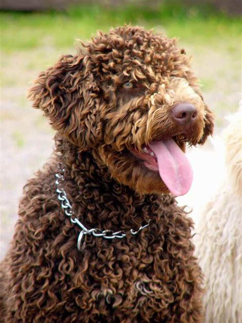 spanish water dog hypoallergenic woof dogs spanish