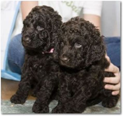 do boykin spaniels shed 17 best images about water spaniels on